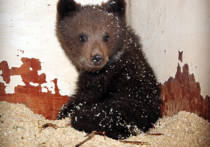 На юге Москвы в гараже нашли медвежонка